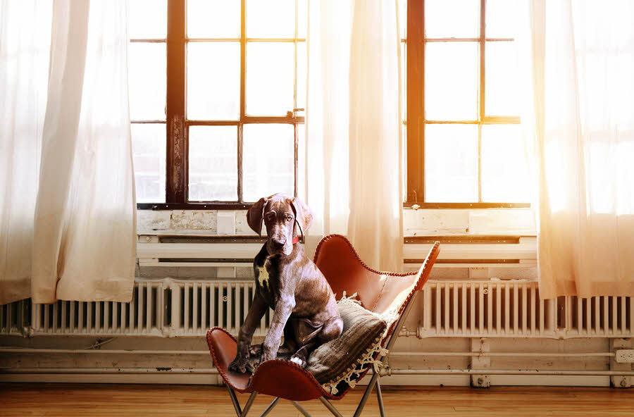Pes sedící v křesle v pozadí se s okny a záclonami s topením | Jak na plíseň? | Prevence | Jak se jí zbavit? | 2.díl | Udělej si sám